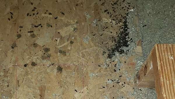 Bat guano in attic photo