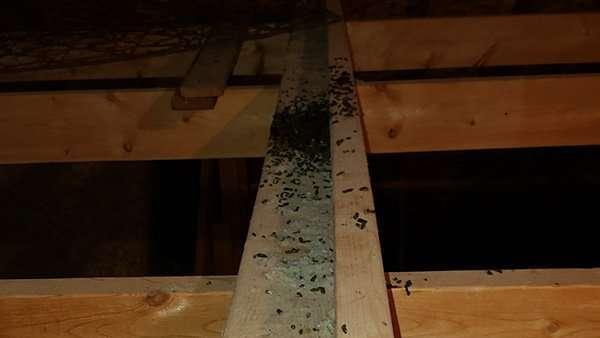 more bat guano in attic photo