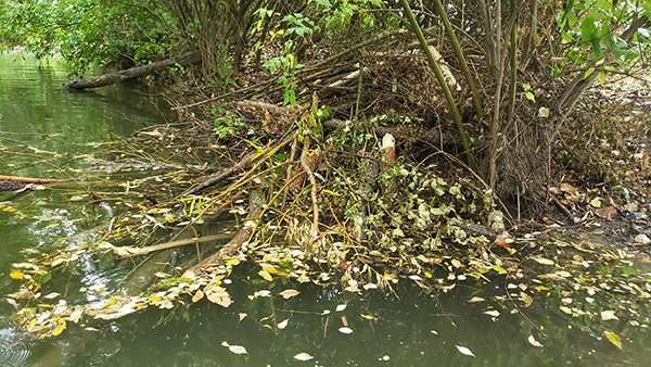 Beaver Damage Problems - A Beaver Home Along bank photo