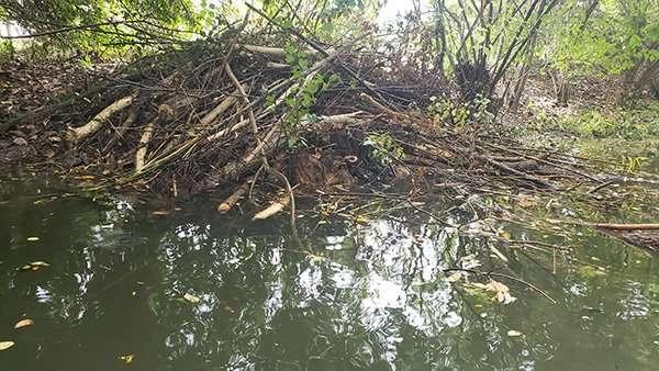 Beaver Damage Problems - A Beaver Dam photo