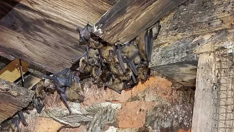 Dayton Animal Pest Removal photo of a colony of bats living in a Dayton Ohio basement.