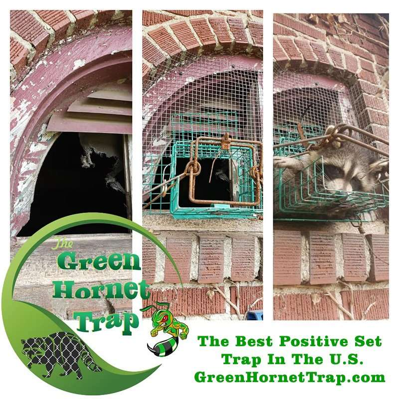 Positive Set Trap Photo of a raccoon in the Green Hornet Trap.
