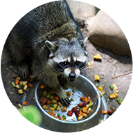 Montgomery County Ohio Raccoon Removal phot of a raccon eating out of a pet bowl