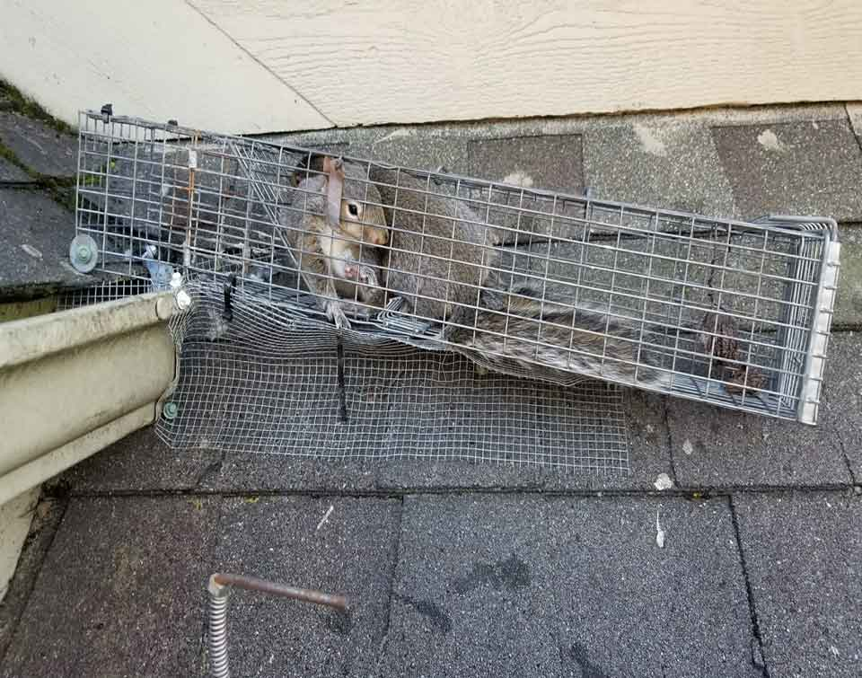 Montgomery County Ohio Raccoon Removal photo of live trapped raccoon in an attic