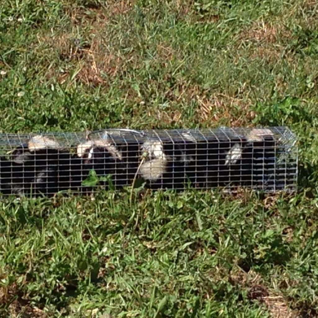 skunk trapping dayton oh