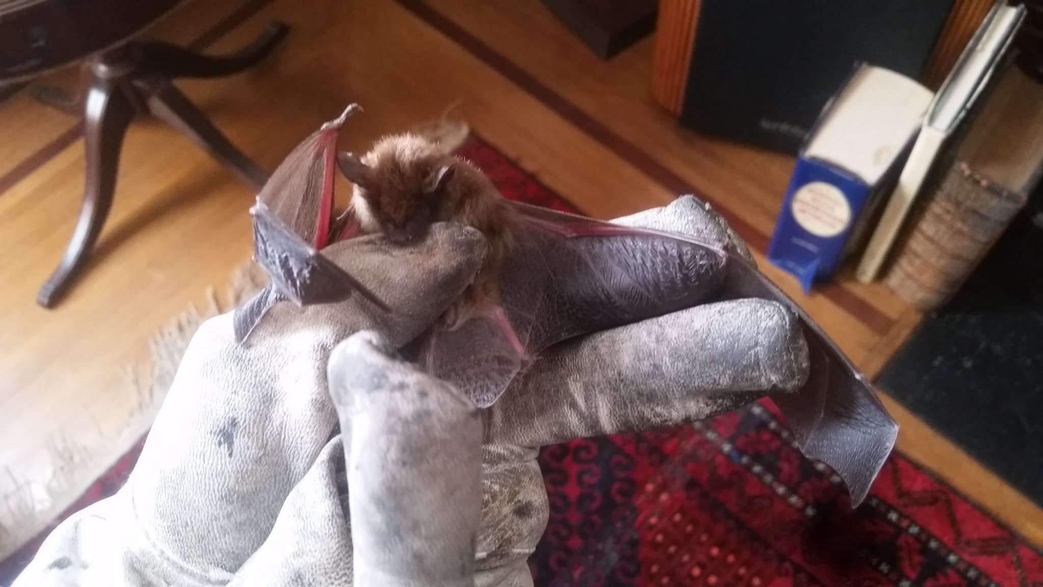 Bat in the House Dayton Ohio