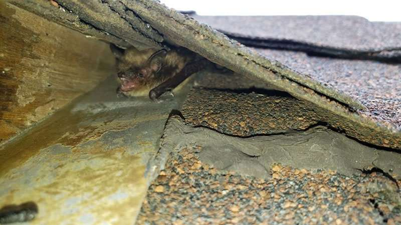 Photo of a bat hiding in a corner of the roof which was an entrance and exit point into the home.