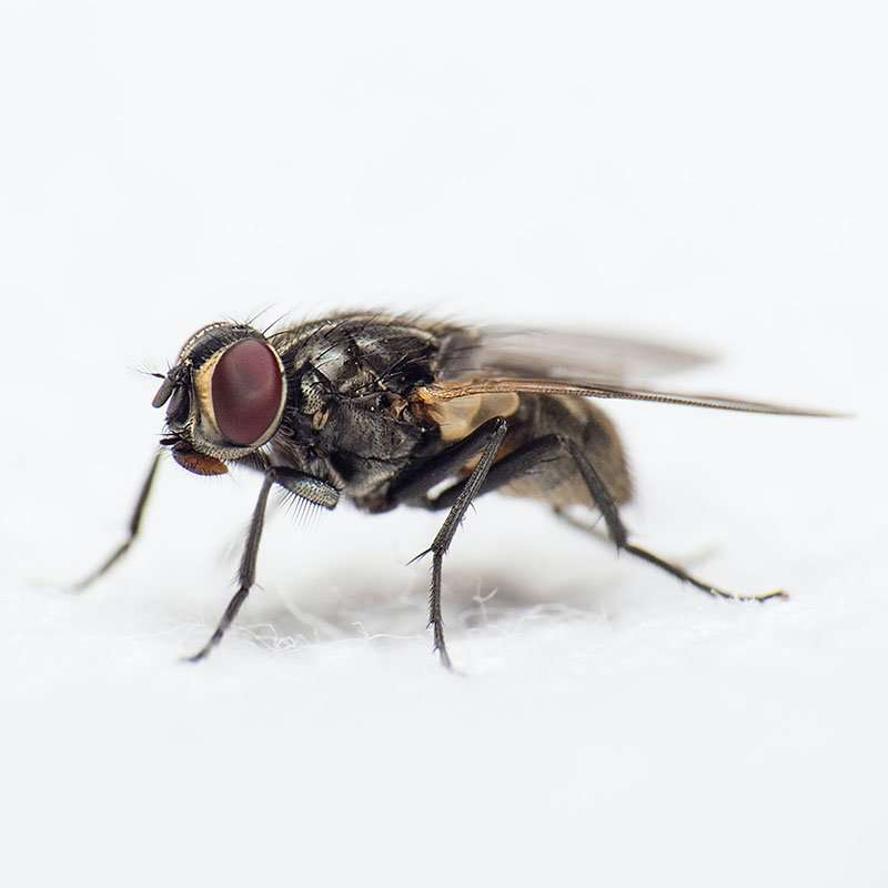 Barnes Wildlife Control #1 Elite Fly Removal Service in Greater Dayton Ohio