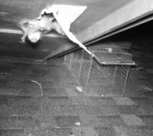 raccoon eave vent damage dayton ohio