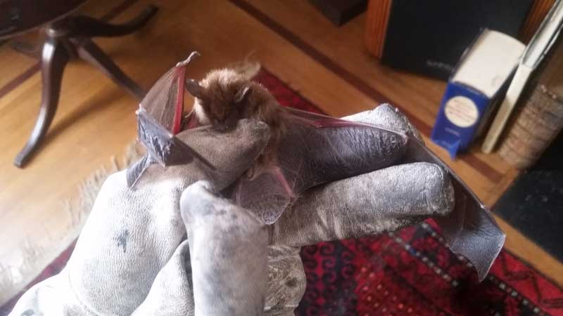 Photo of a bat that came from the attic of this home filled with a colony of bats.