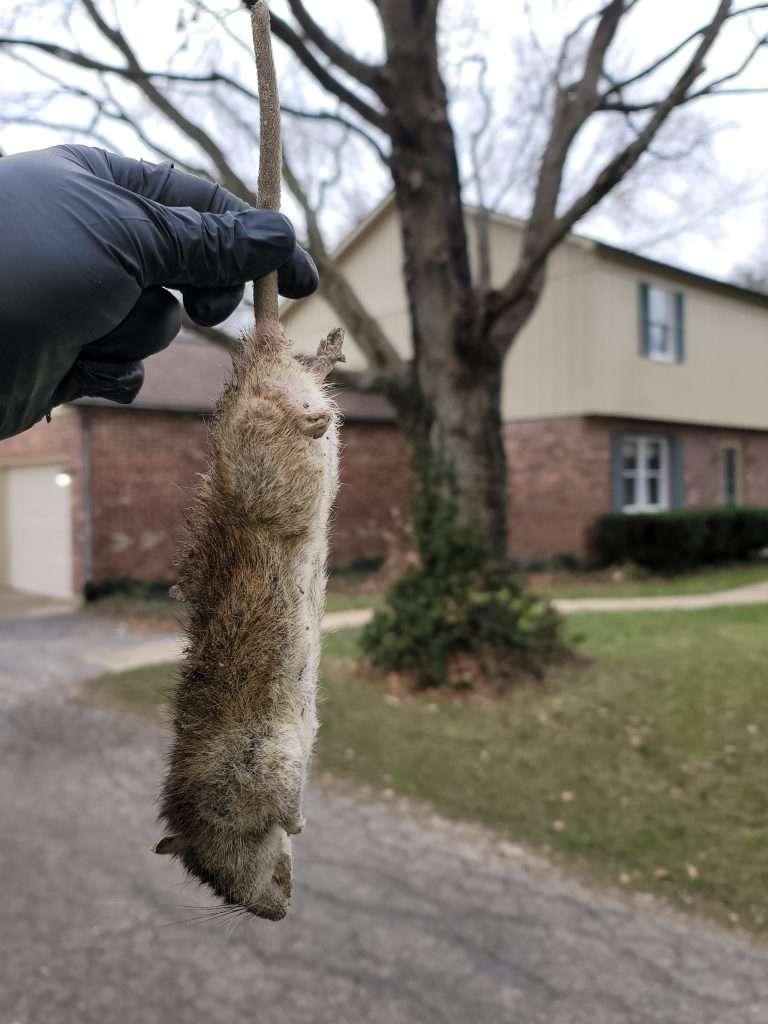 Dayton Rat Removal