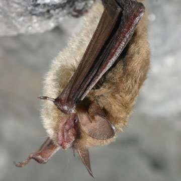 Montgomery county ohio bat removal - thanks to U.S. Fish and Wildlife Service Headquarters, CC BY 2.0 <https://creativecommons.org/licenses/by/2.0>, via Wikimedia Commons